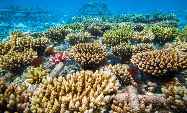 Zasaďte korálové útesy na Maledivy