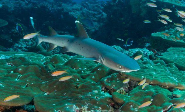 Potopite se z grebenskimi morskimi psi na maldivih