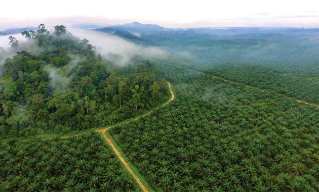 Palmoil ültetvény szumátra